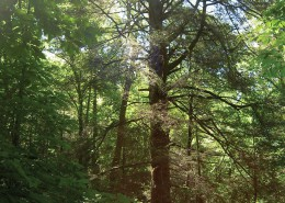 Moses Cone Old Growth